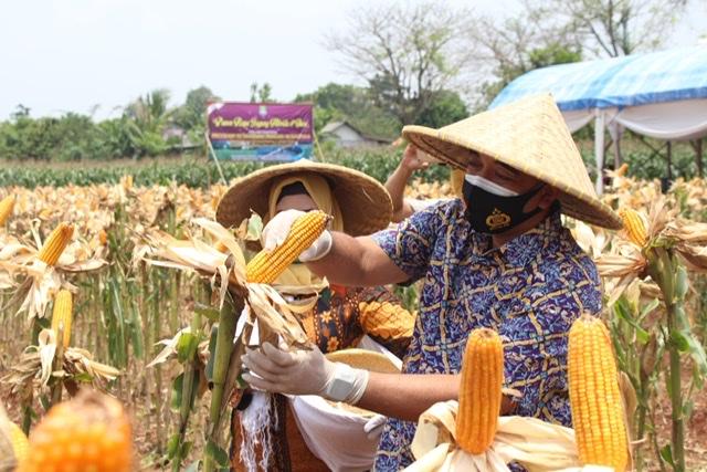 Bupati Tangerang Panen Raya Jagung Hibrida dan Ikan di Desa Badak Anom Sindang Jaya.
